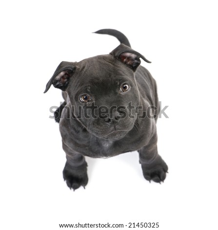 puppy Staffordshire Bull Terrier (2 months) in front of a white background - stock photo