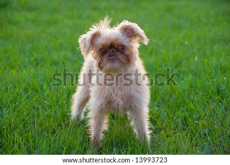 Puppy standing in the grass. Breed - Griffon Bruxellois. Seven months old. - stock photo