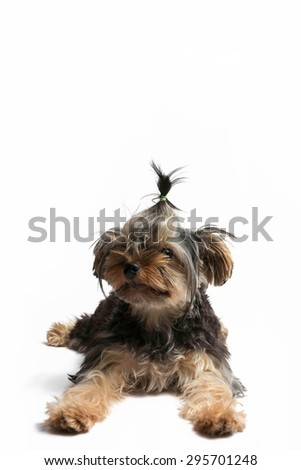 Puppy terrier's people before looking forward on a white background. - stock photo