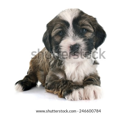 puppy tibetan terrier in front of white background