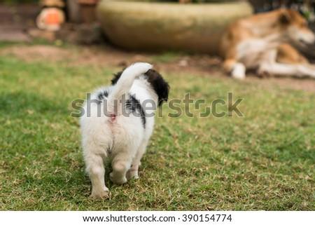 Puppy walking on the green grass garden - stock photo