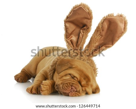 puppy wearing bunny ears - dog de bordeaux wearing easter bunny ears on white background - 4 weeks old - stock photo