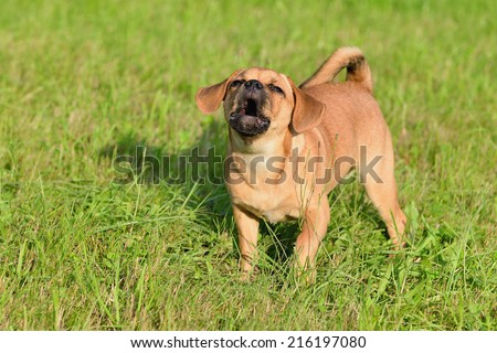 Puppy 10 weeks barks Puggle Dog Designer Dog Mops and Beagle  - stock photo