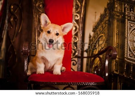 Puppy, Welsh Corgi, Christmas and New Year - stock photo
