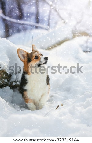 Puppy Welsh Corgi sitting in a forest  in snow in a stump in the winter landscape - stock photo
