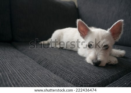 puppy west highland white terrier - stock photo