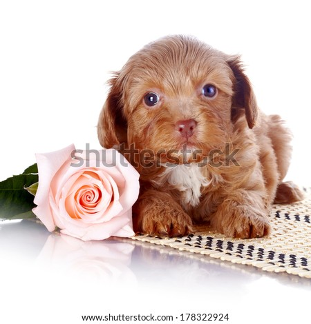 Puppy with a rose on a rug. Puppy of a decorative doggie. Decorative dog. Puppy of the Petersburg orchid on a white background - stock photo