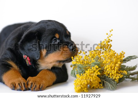 puppy with mimosa - stock photo