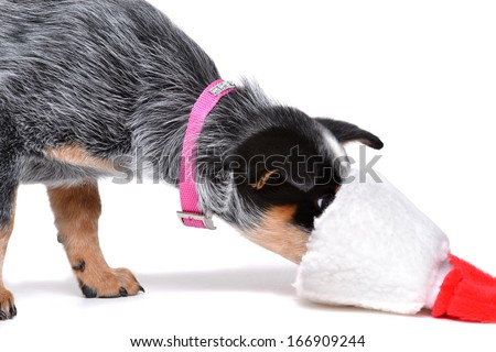puppy with nose in christmas stocking on white background - stock photo