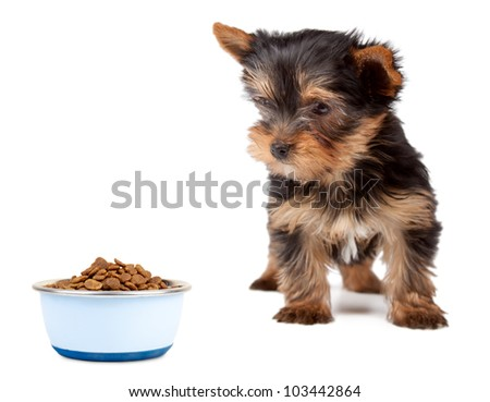 Puppy Yorkshire looking the feed bowl on a white background. - stock photo