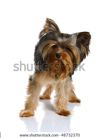 Puppy yorkshire terrier at the age of 8 months on the white background