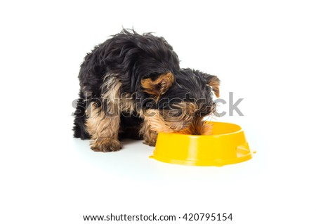 Puppy yorkshire terrier dog eats from a bowl