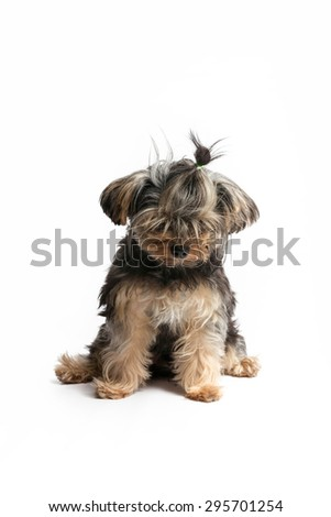 Puppy Yorkshire Terrier face on a white background. - stock photo
