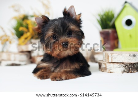 Puppy Yorkshire Terrier in the decorated spring studio