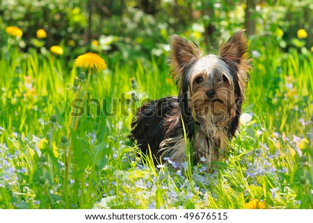 Puppy yorkshire terrier in the grass - stock photo