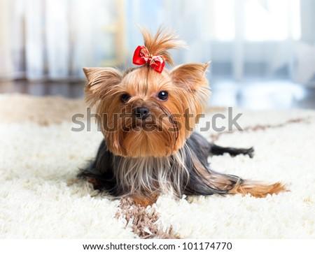 puppy yorkshire terrier indoor - stock photo