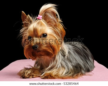 Puppy yorkshire terrier on the black background