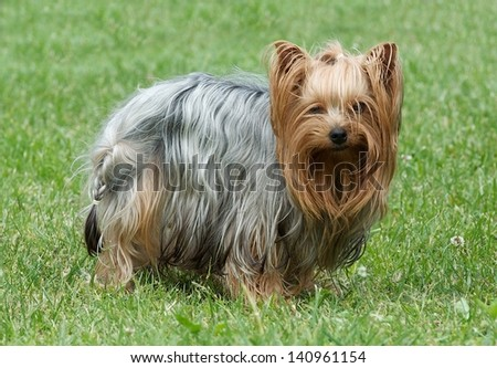 Puppy yorkshire terrier on the green grass background, Cute Yorkshire Terrier Dog Playing in the Yard, Calm colourful dog terrier with the green grass background, looking, paying on a grass