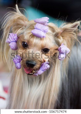 Puppy yorkshire terrier with rollers
