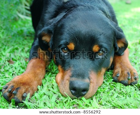 Pure bred rottweiler dog laying down
