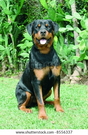 Pure bred rottweiler dog sitting down - stock photo