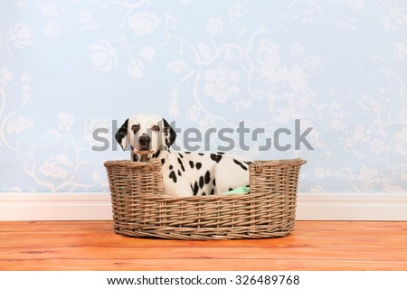 Pure breed Dalmatian dog laying in animal bed - stock photo