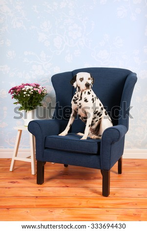 Pure breed Dalmatian dog on chair in living room - stock photo