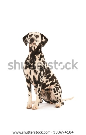 Pure breed Dalmatian dog sitting in studio isolated over white background - stock photo