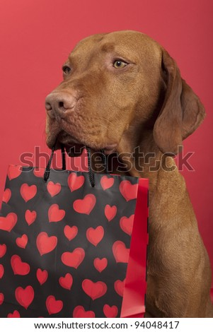 pure breed dog holding Valentine's Day gift bag decorated with red hearts on red background - stock photo