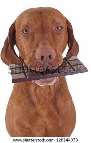 pure breed golden dog holding real dark chocolate in mouth on white background - stock photo
