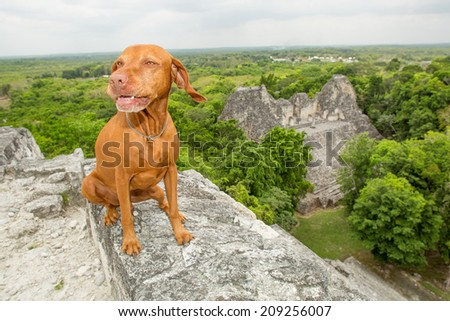 pure breed golden dog sitting on the top of a Mayan pyramid in Mexico with jungle and ruin in the background