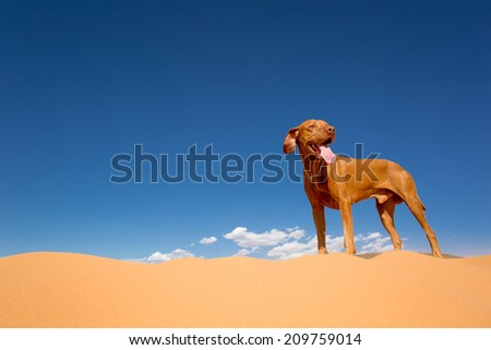 pure breed golden dog standing on golden desert sand with blue sky in the background - stock photo