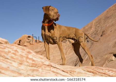 pure breed golden Hungarian vizsla standing outdoor on cliff - stock photo
