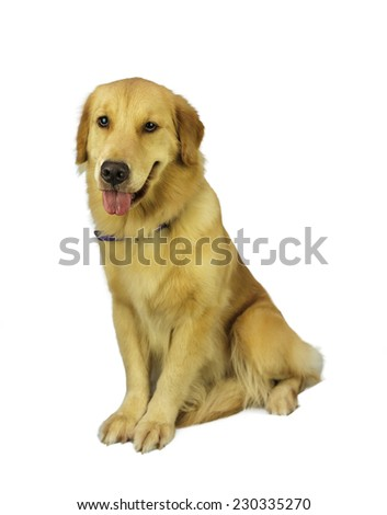 pure breed golden retriever isolated in white background with clipping path - stock photo