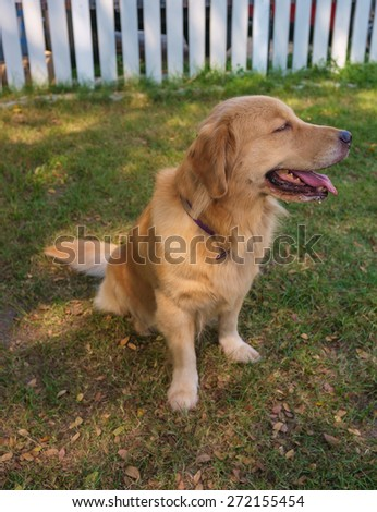pure breed golden retriever sitting in the garden - stock photo