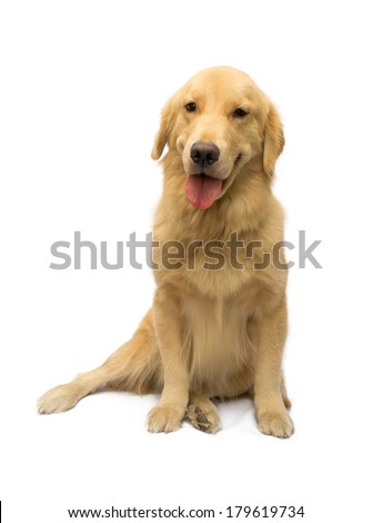 pure breed golden retriever with a smile on face isolated in white background with clipping path