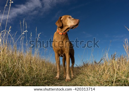 pure breed hungarian vizsla seen from below standing in the grass