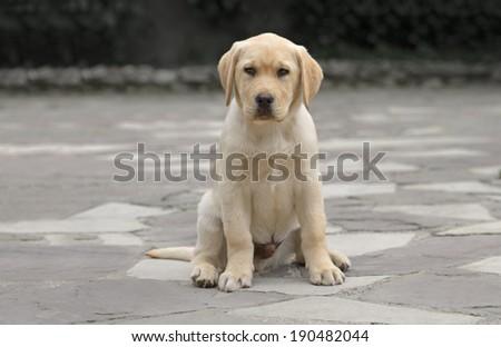 Pure breed male labrador puppy - stock photo