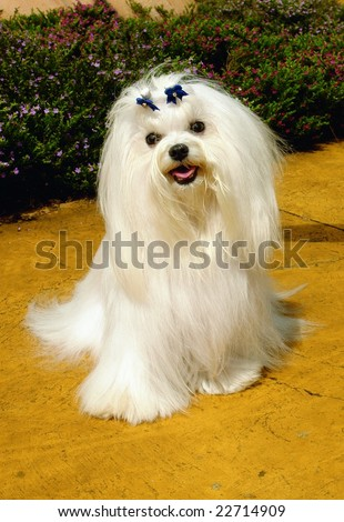 Pure breed maltese dog sitting in a park