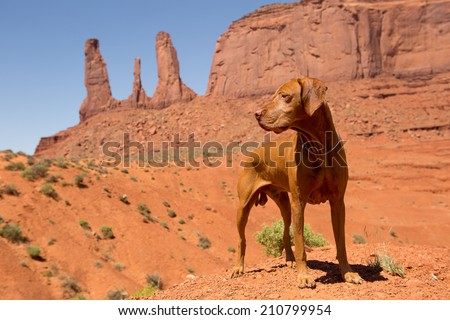 pure breed red dog in Monument Valley - stock photo