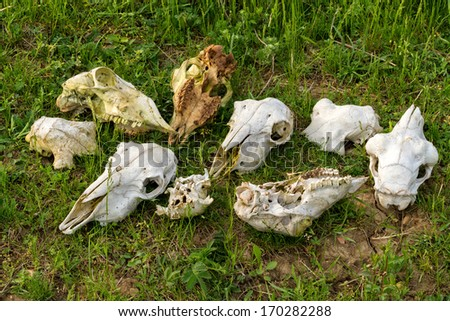 Pure dead red deer skulls - stock photo
