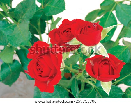Pure red color blossoms on the rose branch close up - stock photo
