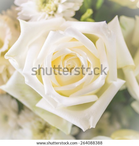 Pure white rose (focus on flower hub) : Background for mothers day card : Happy mother's day