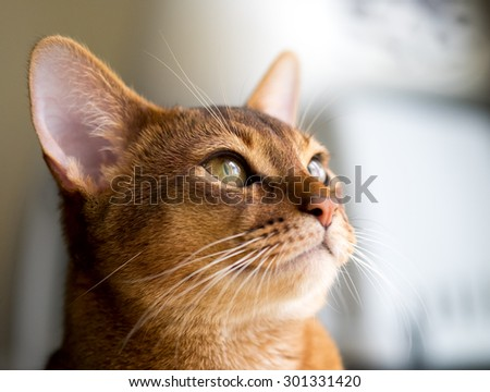 Purebred abyssinian cat - stock photo