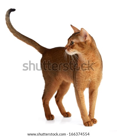 Purebred abyssinian cat isolated on white background - stock photo