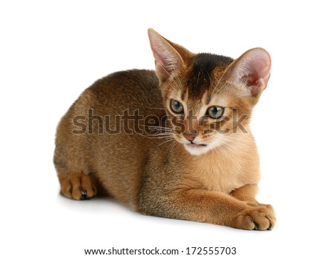 Purebred abyssinian kitten isolated on white background