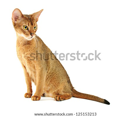 Purebred abyssinian young  cat isolated on white