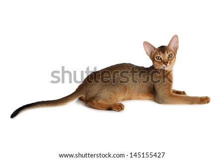 Purebred abyssinian young cat isolated on white background