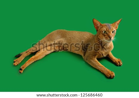 Purebred abyssinian young  cat on the green background
