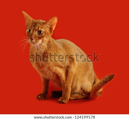 Purebred abyssinian young  cat on the red background